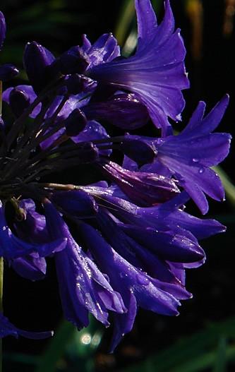 Agapanthus-Brilliant-Blue5779.jpg