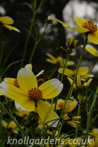 Bidens-Hannays-Lemon-Drop5815