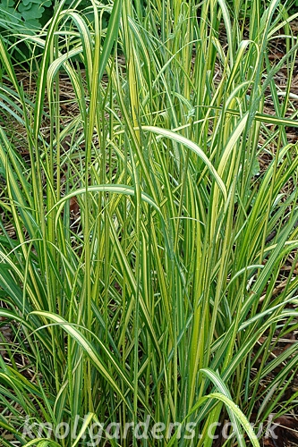Calamagrostis-Eldorado3670.jpg