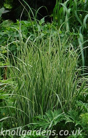 Calamagrostis-Overdam9715.jpg