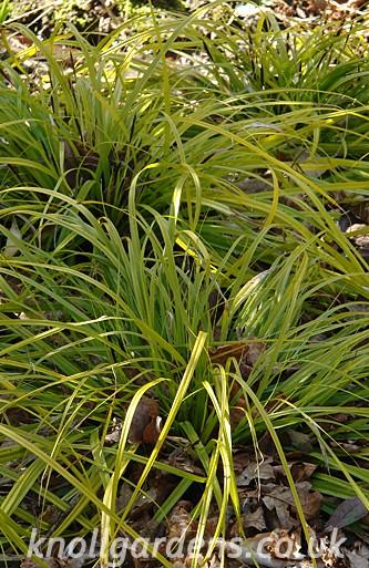 Carex-Everillo2759