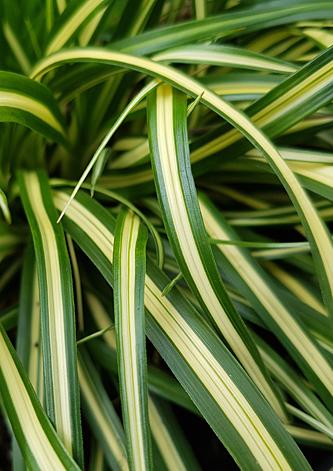 Carex Everoro32705