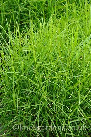 Carex-Little-Midge210.jpg