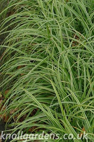 Carex-Silver-Sceptre6929.jpg