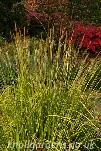 Carex-elata-Aurea8835a