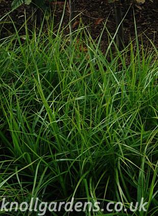 Carex-muskingumensis5715.jpg