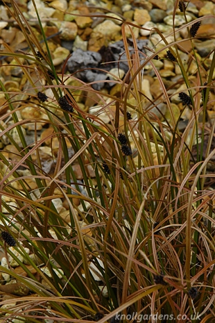 Carex-solandri549.jpg