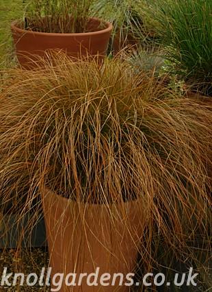 Carex-testacea2896.jpg