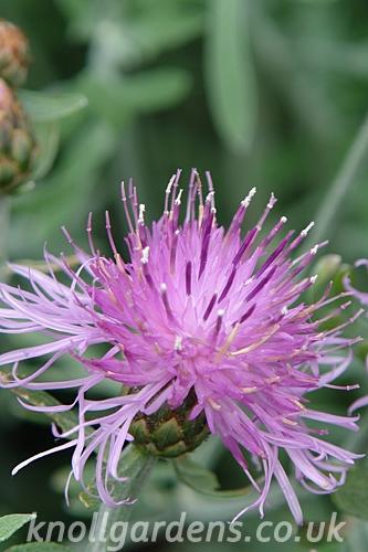 Centaurea-Silver-Feather8473.jpg