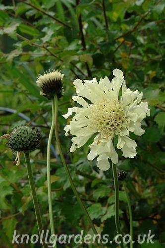 Cephalaria-gigantea8638.jpg
