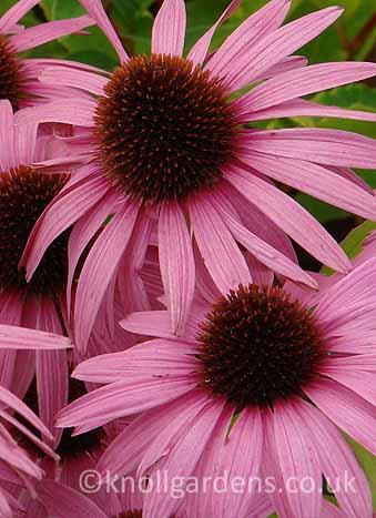 Echinacea-Augustkonigen4197.jpg