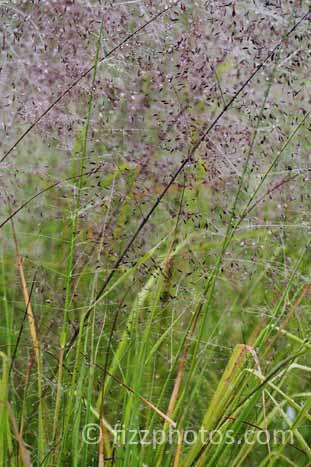 Eragrostis-trichodes-0139.jpg