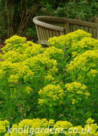 Euphorbia-palustris2269a.jpg