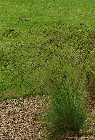 Festuca-amethystina3560.jpg