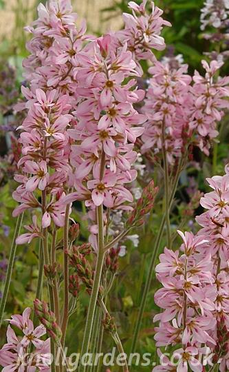 Francoa-Pink-Bouquet8924.jpg