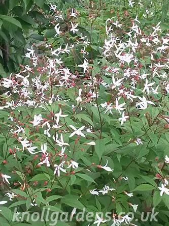 Gillenia-trifoliata0550.jpg
