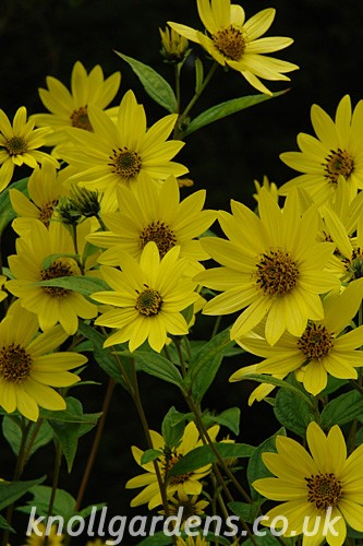 Helianthus-Lemon-Queen6176.jpg