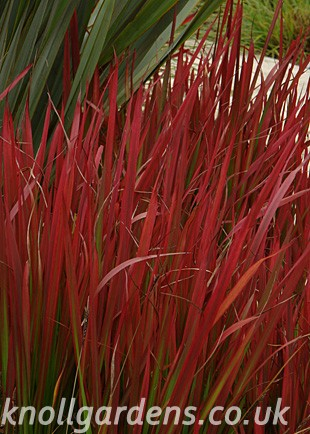 imperata cylindrica rubra red baron knoll gardens ornamental grasses and flowering perennials. Black Bedroom Furniture Sets. Home Design Ideas