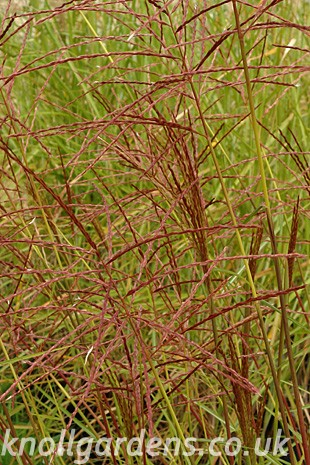 Miscanthus-Red-Meister1662.jpg