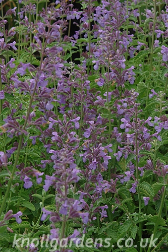 nepeta walkers low knoll gardens ornamental grasses and