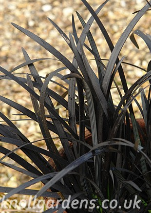 Ophiopogon-Blackbeard8753.jpg