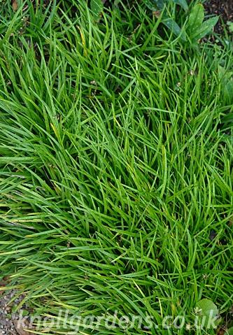 Ophiopogon-planiscapus0515.jpg