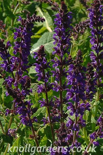 Salvia-Mainacht8429.jpg