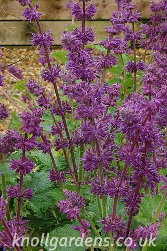 Salvia-Purple-Rain3522.jpg