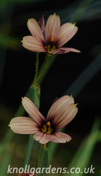 Sisyrinchium-Raspberry9905.jpg