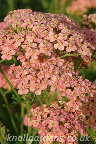 Achillea-Salmon-Beauty2355.jpg