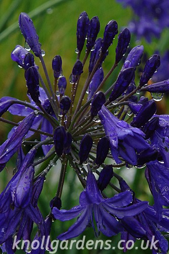 Agapanthus-Northern-Star5848.jpg