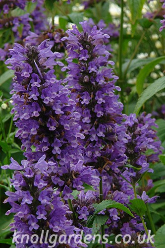 Agastache-Black-Adder5356.jpg