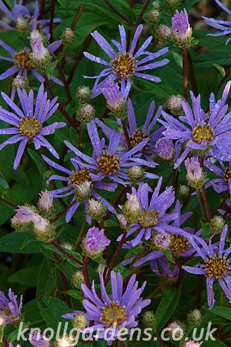 Aster-August-Sky3731