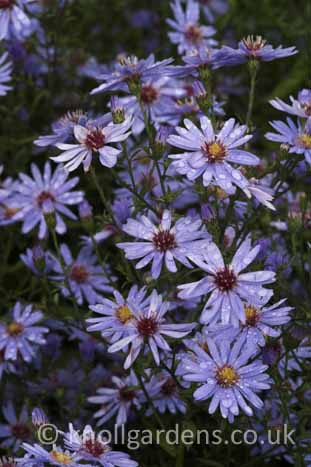 Aster-Little-Carlow2