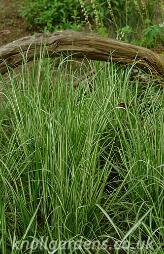 Calamagrostis-Avalanche2338a