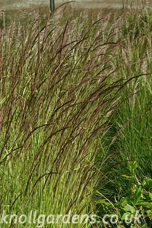 Calamagrostis-varia124.jpg