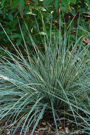 Carex-Everest6161
