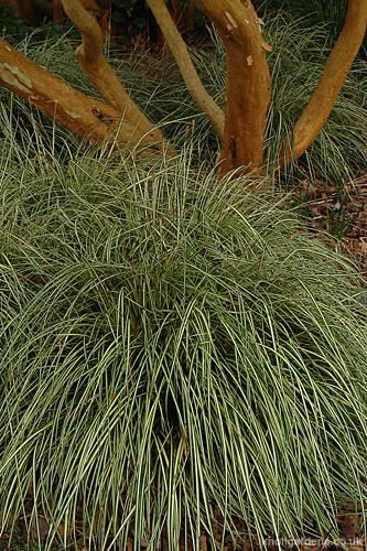 Carex Evergold7698