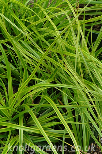 Carex-Everlime8238