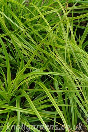Carex-Everlime8238