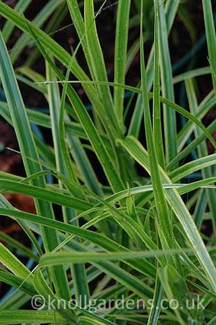 Carex-Oehme2887.jpg