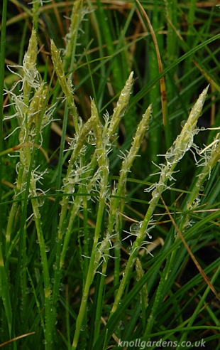 Carex-alba8761