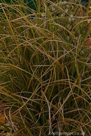 Carex-dipsacea4092