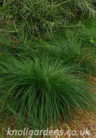 Carex-divulsa0172.jpg
