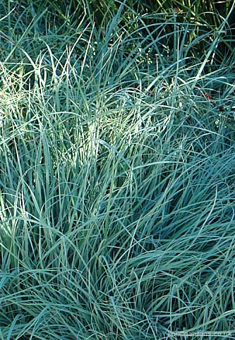 Carex flacca2605a