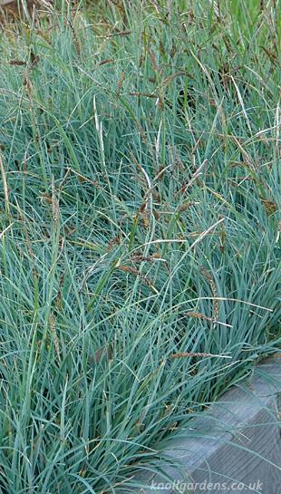 Carex-flacca9982a