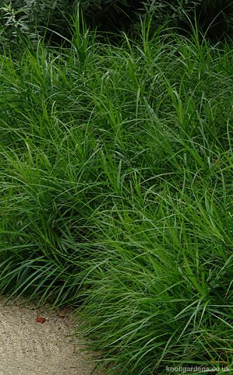 Carex muskingumensis4918