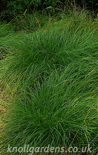 Carex-remota4798.jpg