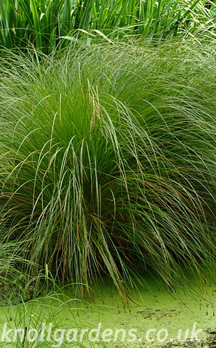 Carex-secta1065.jpg