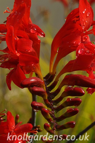 Crocosmia-Lucifer5231.jpg